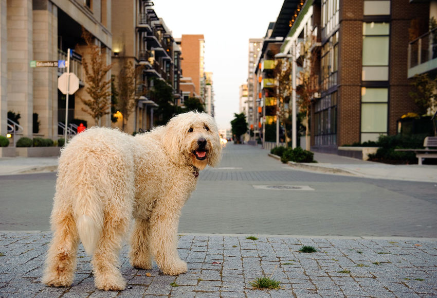 Goldendoodle dog outdoor portrait Allergies Goldendoodle Dog Hair Animal Themes Cross-breed Curly Day Designer Dog Dog Domestic Animals Golden Hour Goldendoodle Hypoallergenic Mammal Mixed Breed No People One Animal Outdoors Pets Poodle Mix