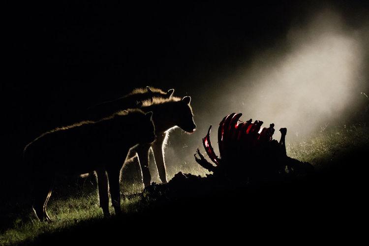 Silhouette Hyenas By Animal Carcass At Night
