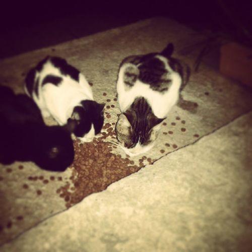 Mamaya kavuşan aç kedilerim Goody Kedi Mama Goodymaması