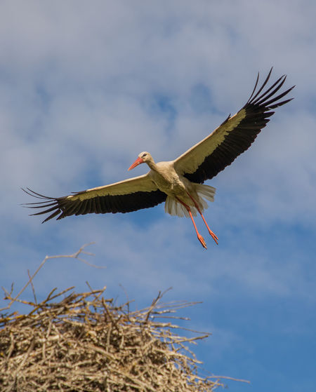Low angle view of stork flying against sky