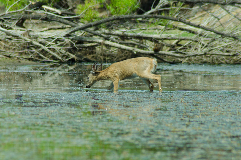 Animal Animal Themes Beauty In Nature Day Deer Focus On Foreground Forest Grass Mammal Nature No People Outdoors Selective Focus Tranquility Water Wildlife Wildlife & Nature Wildlife Photography Zoology Hunting