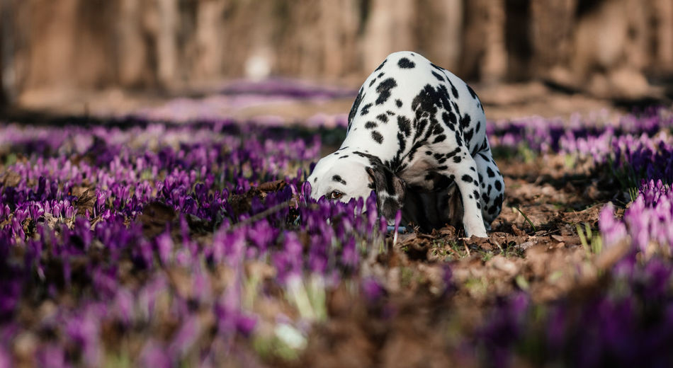 Dalmatian dog hiding in a crocus flower field Crocus Flower Dalmatian Dalmatian Dog Animal Animal Themes Beauty In Nature Crocus Dog Portrait Domestic Animals Field Flower Flowering Plant Hiding Mammal Nature No People One Animal Pets Purple Selective Focus