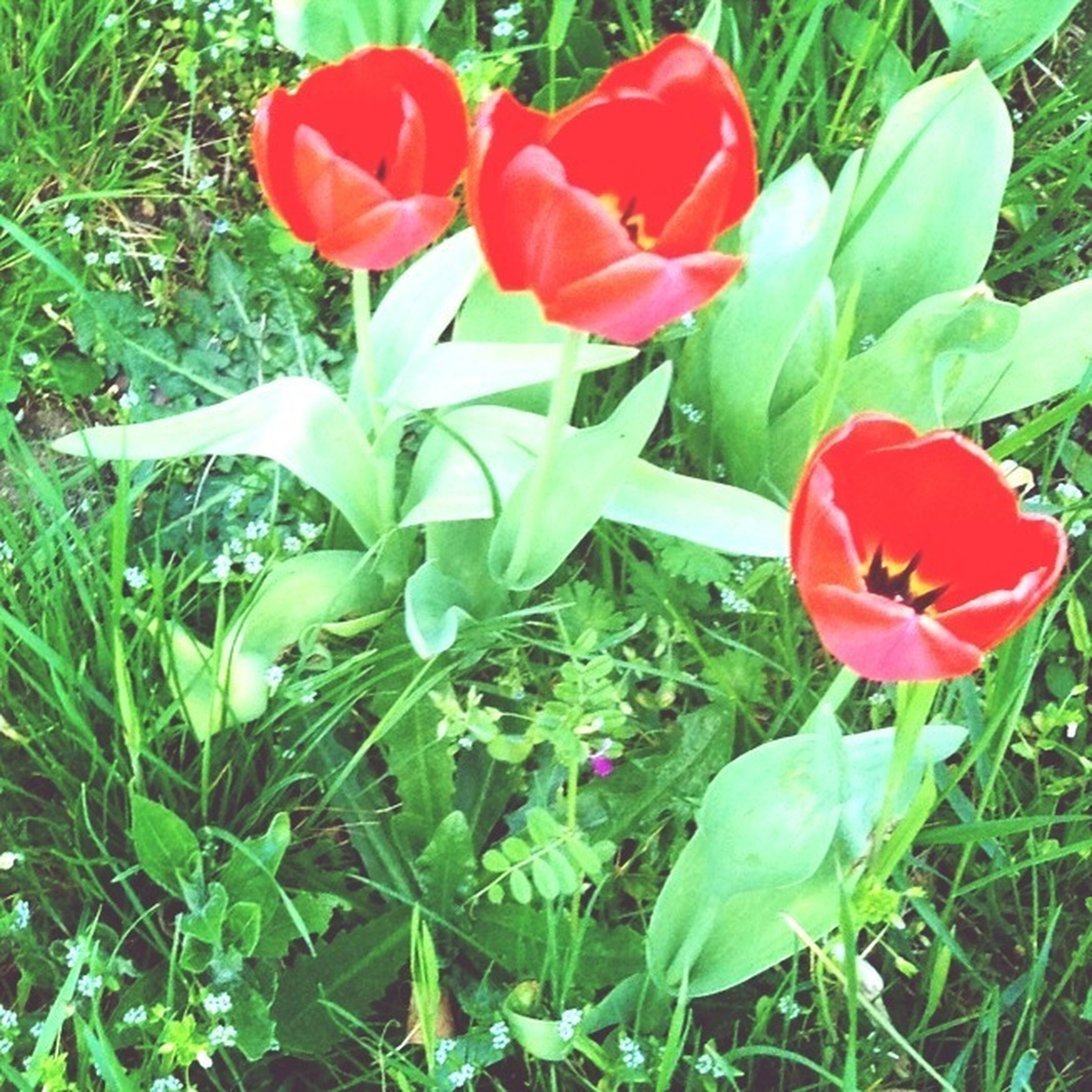 flower, freshness, red, petal, growth, fragility, flower head, plant, beauty in nature, blooming, nature, tulip, leaf, green color, field, high angle view, close-up, poppy, in bloom, day