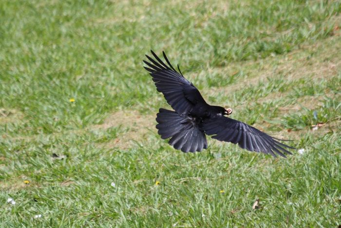 Spread Raven Spread Eagle The Raven The Crow Bird Watching