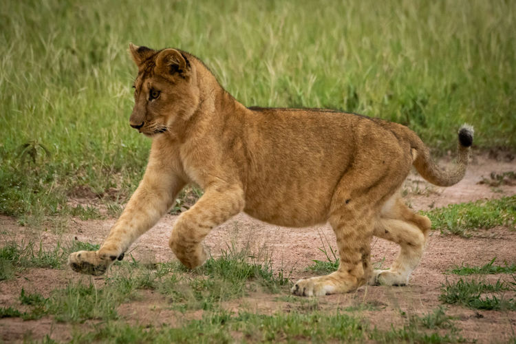 Lion cub playing on field