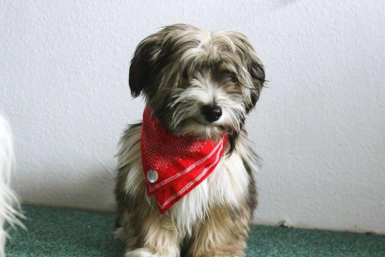 OSKAR Dog One Animal Portrait Indoors  Sitting Havaneser No People