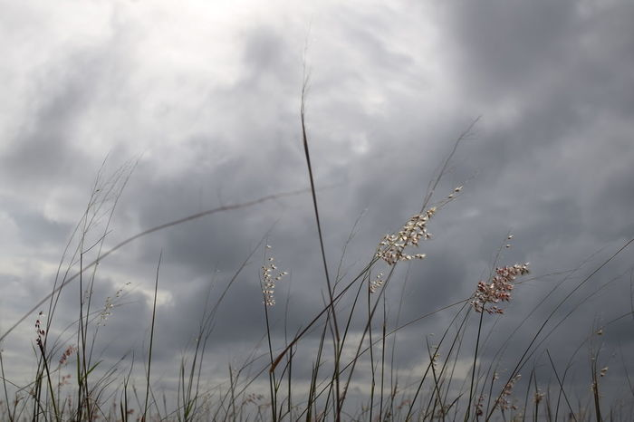 Weeds flower under cloudy sky. No People Nature Low Angle View Cloud - Sky Outdoors Day Beauty In Nature Weedy Flower Grass Shrub Soft Focus Wild Flowers Windy