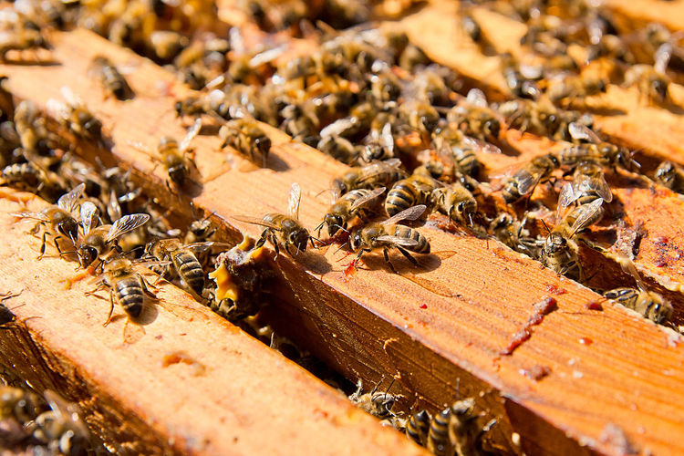Animal Animal Themes Animal Wildlife Animals In The Wild APIculture Beauty In Nature Bee Beehive Close-up Colony Group Of Animals Honey Bee Honeycomb Insect Invertebrate Large Group Of Animals Nature No People Selective Focus Teamwork Zoology