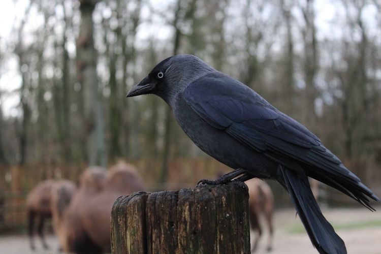 Bird Animal Wildlife Animals In The Wild Tree Focus On Foreground Perching Animal Themes One Animal Raven - Bird No People Nature Outdoors Close-up Day Full Length Cold Temperature Branch