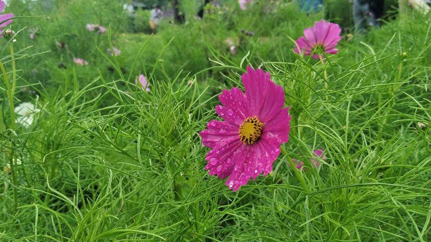 ฟ้าหลังฝน Chaingmai Monjam Thailand Holiday Flower Head Flower Thistle Insect Field High Angle View Petal Purple Animal Themes Grass