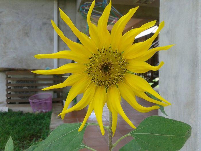 ดอกไม้ (Flower) ดอกทานตะวัน.🌻🌻 Flower Collection Sunflower🌻
