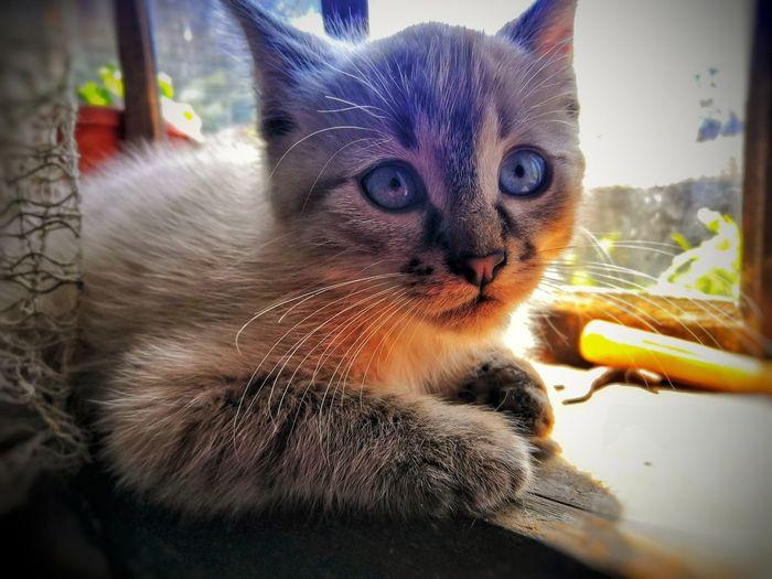 Cat Persian Cat