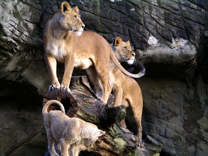 Lioness and cub on broken tree trunk against rock formation at zoo
