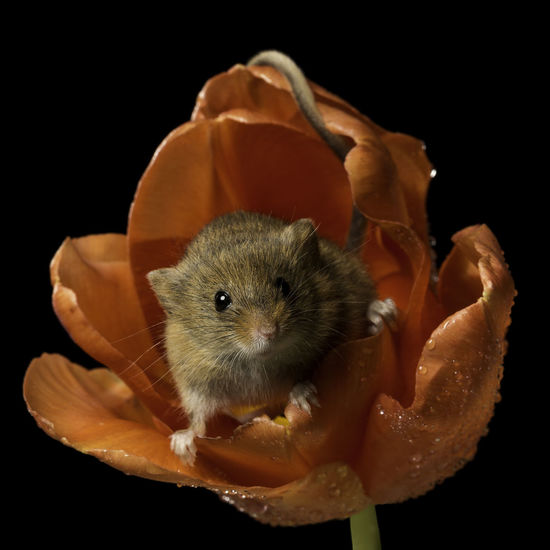 Be My Valentine Valentine's Day  Animal Themes Black Background Close-up Cute Harvest Mouse Mammal One Animal Red Tulips Studio Shot
