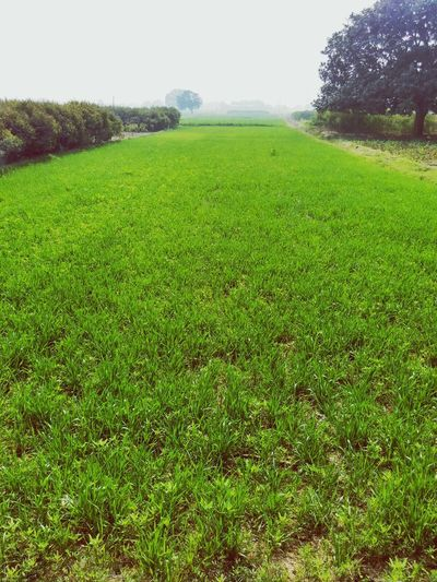Nature Photography India_clicks Farm Life Farmland Fieldscape Field Light Fog Grern Farm Garden Farm Of Rice