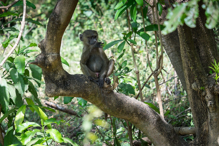Baboon Olive Baboon Anubispavian Paviane Young Baboon EyeEmNewHere Affe Monkey Lake Manyara Animal Wildlife Africa Afrika Safari Tanzania Tansania FUJIFILM X-T1
