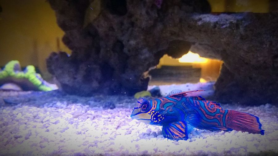 Purple Nature Water Tropical Fish Mandarin Saltwater Fish Saltwater Aquarium Fish Colorful Fish LSD My First EyeEm Picture  The Week On EyeEm EyeEmBestPics EyeEm Best Shots EyeEm Selects Dragonet Pet Portraits Mix Yourself A Good Time