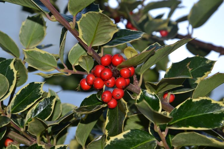 Leaf Plant Part Red Food And Drink Fruit Food Healthy Eating Freshness Green Color Plant Tree Day Berry Fruit No People Nature Focus On Foreground Close-up Beauty In Nature Wellbeing Growth