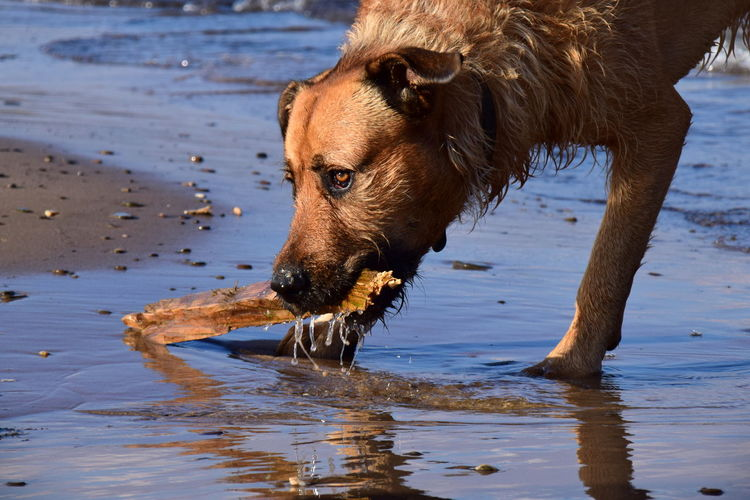 Fierce creatures. Playing Dogs Reflection EyeEm Best Shots EyeEm Nature Lover Animal Themes Beach Day Dog Domestic Animals Mammal Nature No People One Animal Outdoors Pets Sand Water Waterfront Wet