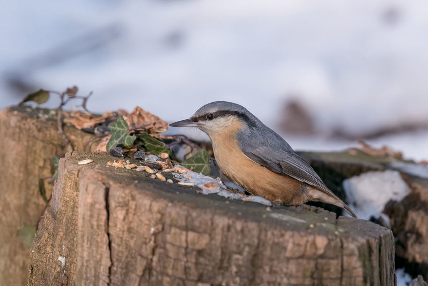 Eurasian nuthatch (Sitta europaea) taking nuts from bird feeder Sitta Europaea Animal Themes Animal Wildlife Animals In The Wild Beauty In Nature Bird Close-up Day Nature No People One Animal Outdoors Perching Robin Sparrow Wood - Material