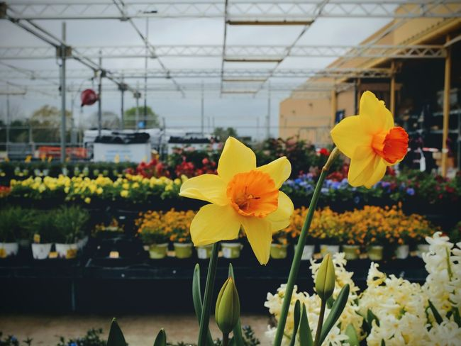 Visual Journal April 2017 Southeast Nebraska A Portrait Of Life Blooming Botany Close-up Daffodils Everyday Lives Flower Flower Head Fragility Freshness Fujifilm_xseries Garden Center Greenhouse No People Photo Diary Photography Plant Plant Nursery Retail  Shopping Small Town Stories Storytelling Visual Journal Yellow Yellow Daffodils