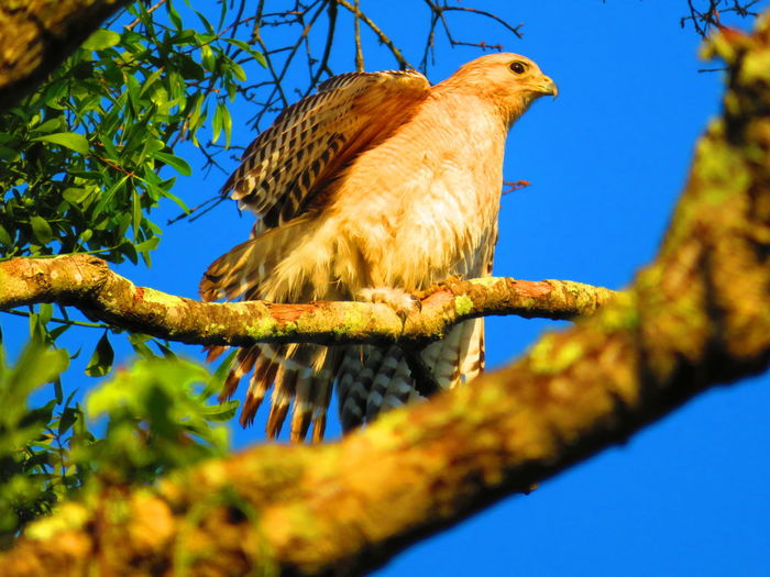 Wild hawk lifting wing Hawks Hawks Of Eyeem Hawk Florida Bird Tree Branch Perching Blue Full Length Bird Of Prey Sky Hawk - Bird Animal Eye