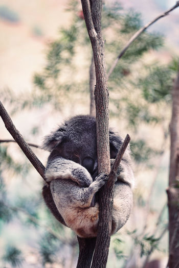Koala Bear Sleeping On Branch
