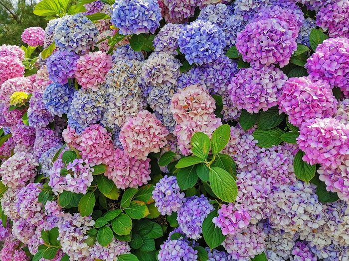 High angle view of pink hydrangea flowers