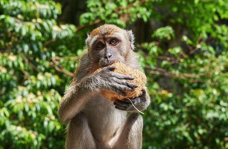 Portrait of monkey holding coconut on sunny day