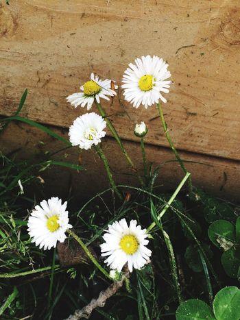 Paquerettes Springflowers Provence Nature_collection Plant Nature Celebrate The Springtime Flowers