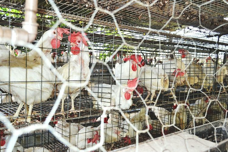 Toda a felicidade tem seu preço. Galinheiro Jail Gallinas Botadeiras Fazenda Sitio Farmcountry Chikens Rural Scenes