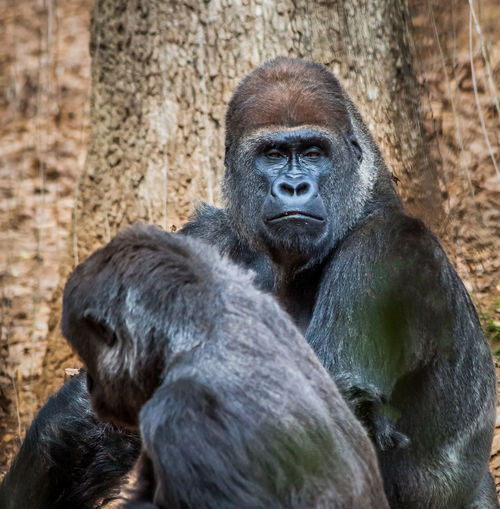What Are You Looking At? Black Color Close-up Day Focus On Foreground Gorilla Mammal Nature No People Outdoors Portrait Primate Zoo