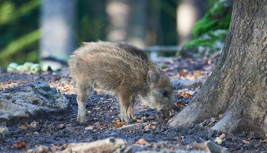Side view of wild boar standing on field