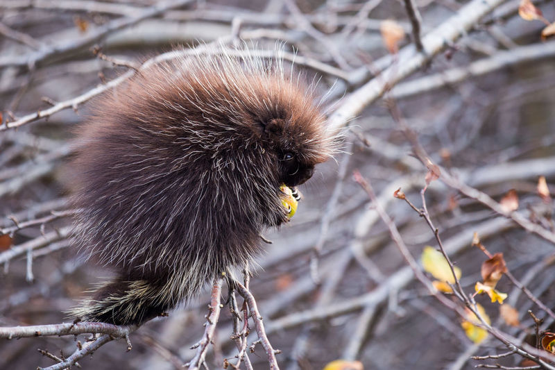 Close-up of young porcupine eating fruit on tree