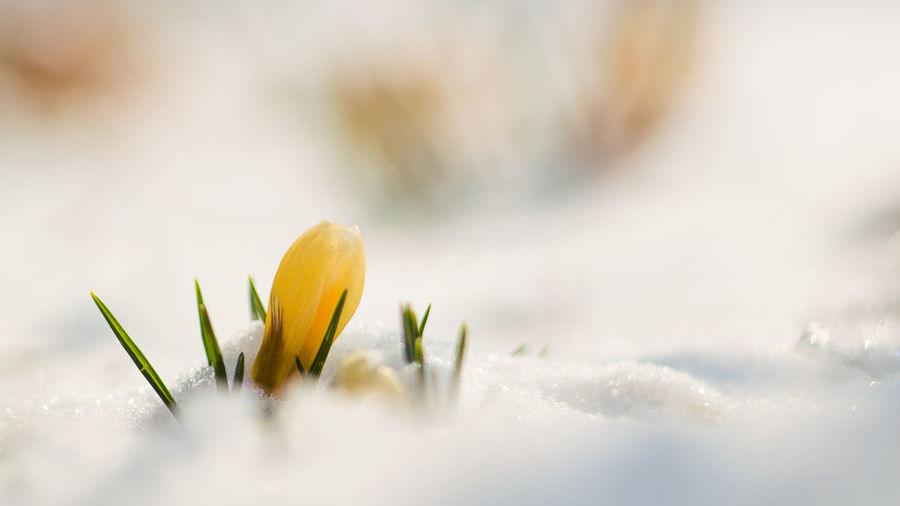 Close-up of yellow crocus plant in winter