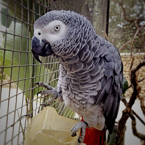African Gray Parrot Animal Animal Themes Animal Wildlife Animals In Captivity Animals In The Wild Bird Bird Of Prey Birdcage Cage Close-up Focus On Foreground Gray Gray Parrot Nature No People One Animal Outdoors Parrot Perching Vertebrate