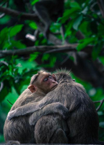 Three monkeys hugging