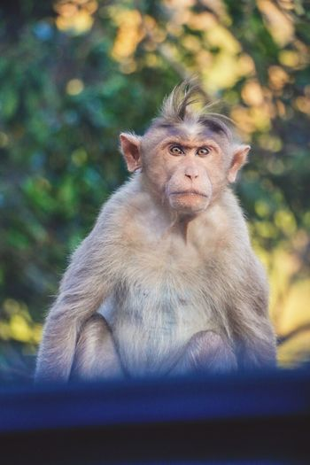 Mammal Monkey Animal Themes Sitting One Animal Portrait Outdoors No PeopleBeauty In Nature Animals In The Wild Day Nature Sunset Kerala Kerala India Wild Palakkad Attapadi Forest Hairpinturns EyeEmNewHere Wildlife EyeEmNewHere