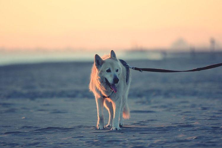 Husky Walking On Beach With Leash