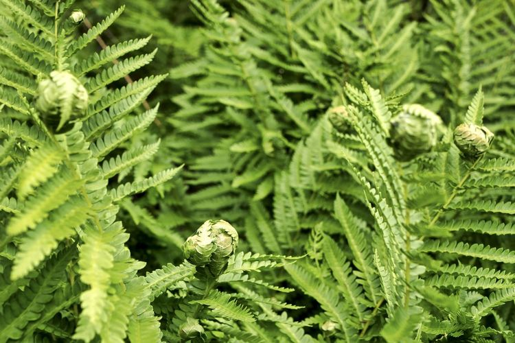 ferns in a forest From Above  Looking Down Sprouting Backgrounds Ball Beauty In Nature Blooming Botany Close-up Day Fern Focus On Foreground Foliage Freshness Full Frame Green Color Growth Herb High Angle View Leaf Leaves Natural Pattern Nature No People Opening Outdoors Plant Plant Part Process Selective Focus Tree Vegetation