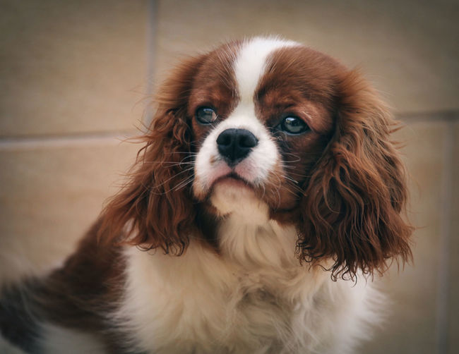 Animal Animal Body Part Animal Eye Animal Hair Animal Head  Animal Themes Boatswain Canine Cavalier King Charles Spaniel Close-up Dog Domestic Domestic Animals Focus On Foreground Indoors  Lap Dog Looking At Camera Mammal No People One Animal Pets Portrait Small Snout Vertebrate