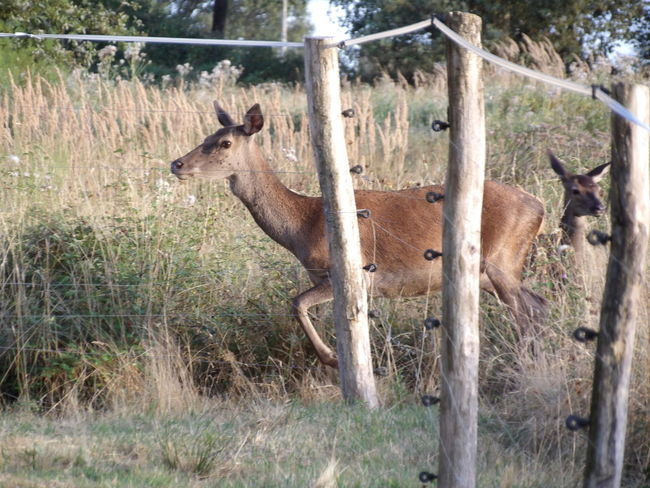 Biche Biches Faon Faons Forest Photography Nature Animal Themes Sauvages Animals France🇫🇷
