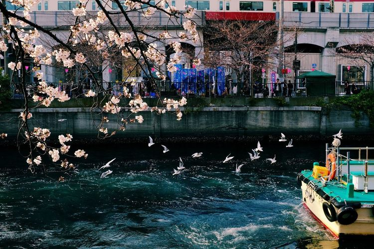 Sakura Hanami Cherry Blossom Japan Festival Happyness Water Nature Tree Plant Built Structure Architecture Day Flower Group Of People Building Exterior Flowering Plant Waterfront Vertebrate Real People Animals In The Wild Outdoors Animal Wildlife Blossom Beauty In Nature Canal Springtime Cherry Tree