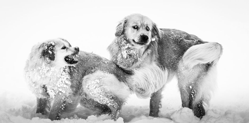 Playful Dogs On Snow Covered Field During Winter