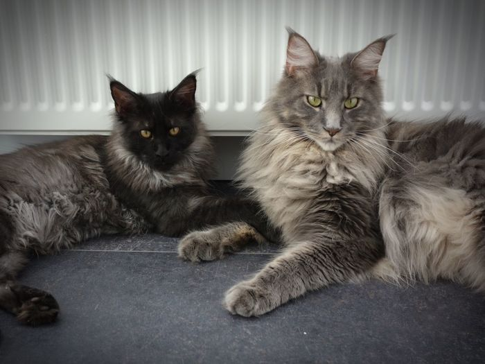 Domestic Animals Pets Animal Themes Domestic Cat Feline Cat Looking At Camera Mammal Two Animals Portrait One Animal Sitting Whisker Staring Alertness Animal Eye Zoology Animal Head  Animal Looking Maine Coon Kitten Black Smoke Blue Silver Tabby