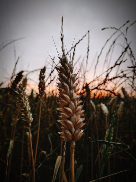 Cereal Sunset Crop  Cereal Plant Rural Scene EyeEm Nature Lover Fragility Beauty Burnt Orange Orange Sky Agriculture New Life Day Growth Nature No People Scenics Cloud - Sky Tranquil Scene
