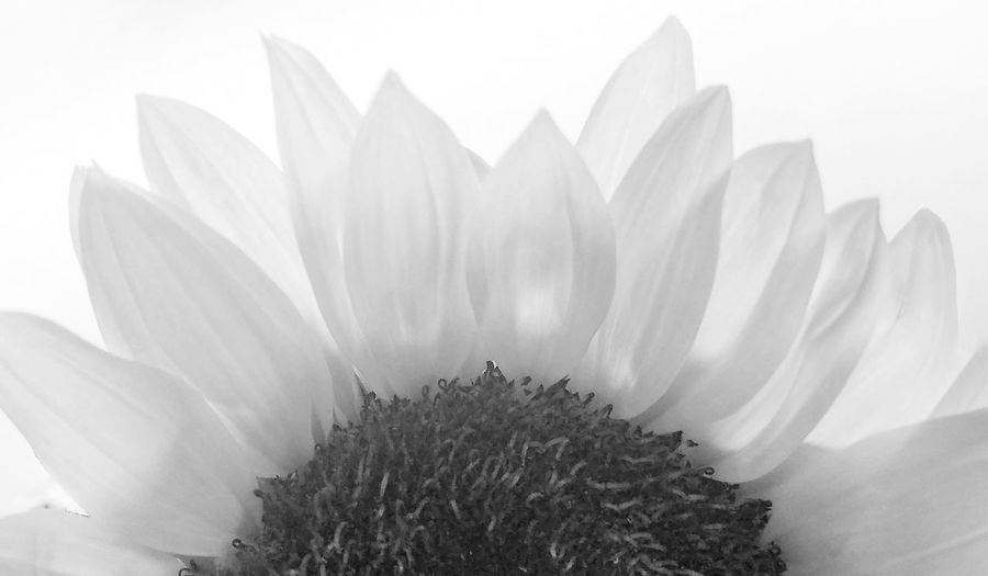 Sunflower Black And White Friday Black And White Shootermag Tadaa Community EyeEm Gallery Flower Petals From My Point Of View Indianapolis Photographer Chicago Photographer Tadaa Friends Black And White Photography Black & White Close-up Eye4photography  White Flower