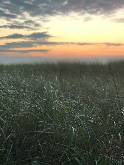 Field Sunset