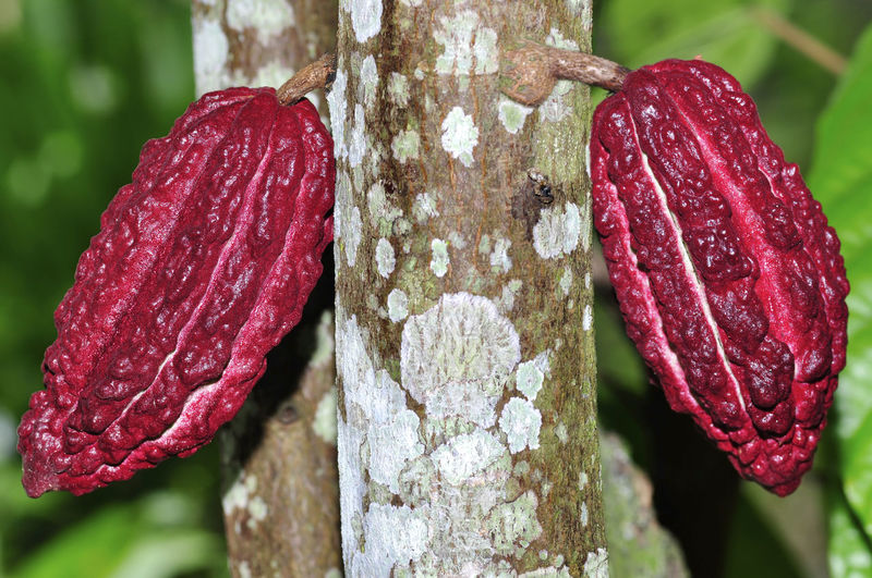 cacao fruits on tree Focus On Foreground Close-up Red Plant No People Day Freshness Growth Pink Color Nature Food Outdoors Beauty In Nature Food And Drink Flower Vulnerability  Flowering Plant Tree Vegetable Textured