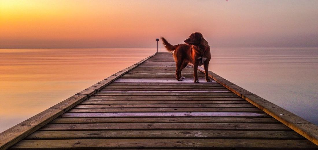 Silhouette of dog in sea at sunset